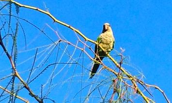 Canary bird
