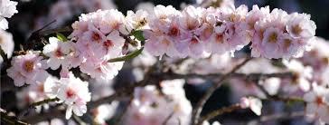 Almendro en Flor deTejeda